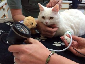 Cat BP at Elston Vets 300x225 - CAT+ Doppler Mini Blood Pressure Kit